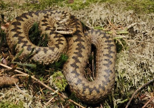 An adder in the New Forest during a walk