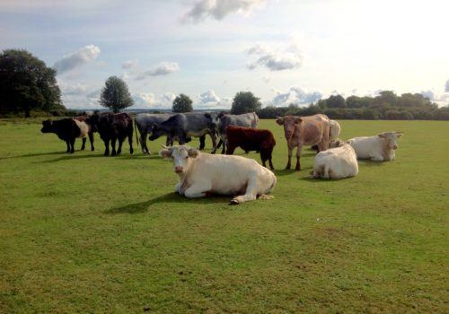 Cattle grazing and relaxing in the New Forest