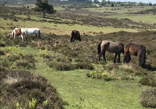 Spot New Forest Ponies when exploring from your New Forest Cottage